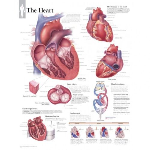 small resolution of 1584x1584 fetal pig heart diagram pig heart drawing at getdrawings air pig heart drawing