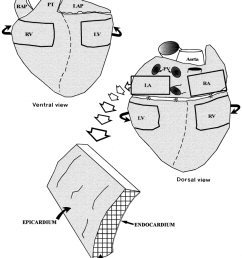 850x1003 schematic diagrams showing ventral and dorsal aspects of the pig pig heart drawing [ 850 x 1003 Pixel ]