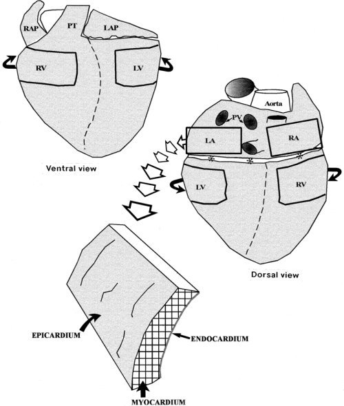 small resolution of 850x1003 schematic diagrams showing ventral and dorsal aspects of the pig pig heart drawing