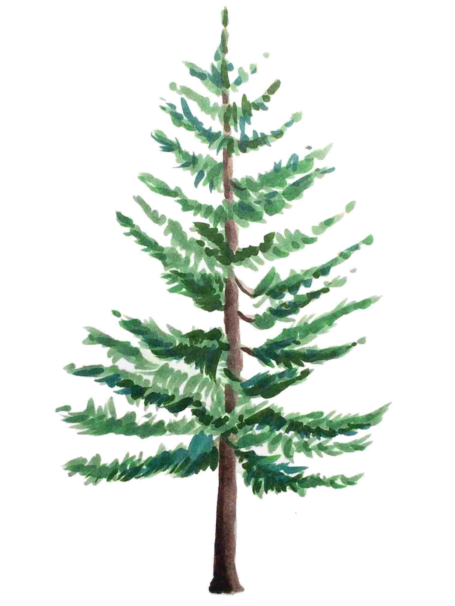 pine drawings at paintingvalley