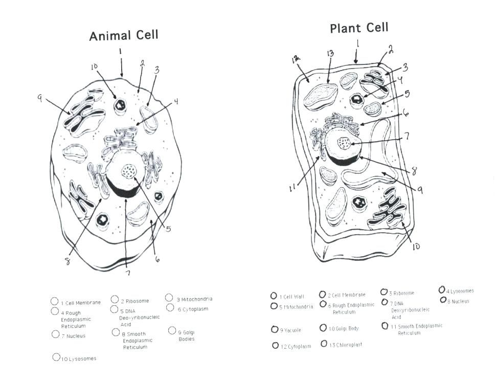 Cell Membrane Diagram Unlabeled