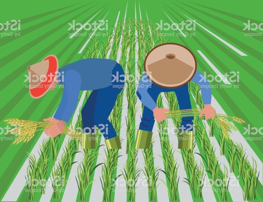 medium resolution of 1024x787 best farmers harvest rice in paddy field vector drawing rice field drawing