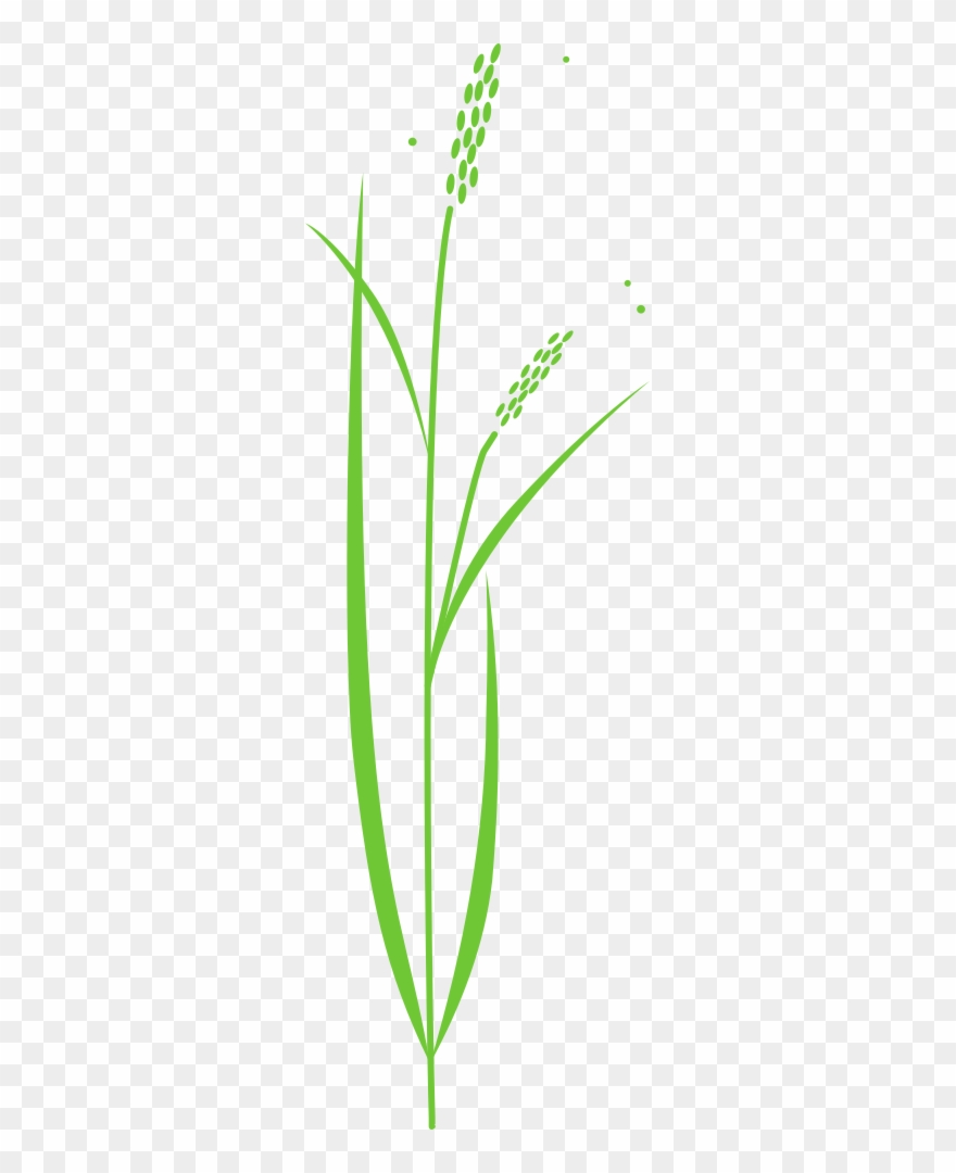 medium resolution of 880x1080 rice plant rice plant drawing