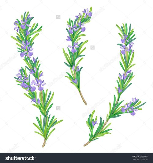 small resolution of 1500x1600 tattoo rosemary tattoo plant tattoo rosemary drawing
