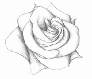 rose drawing simple complex drawings paintingvalley