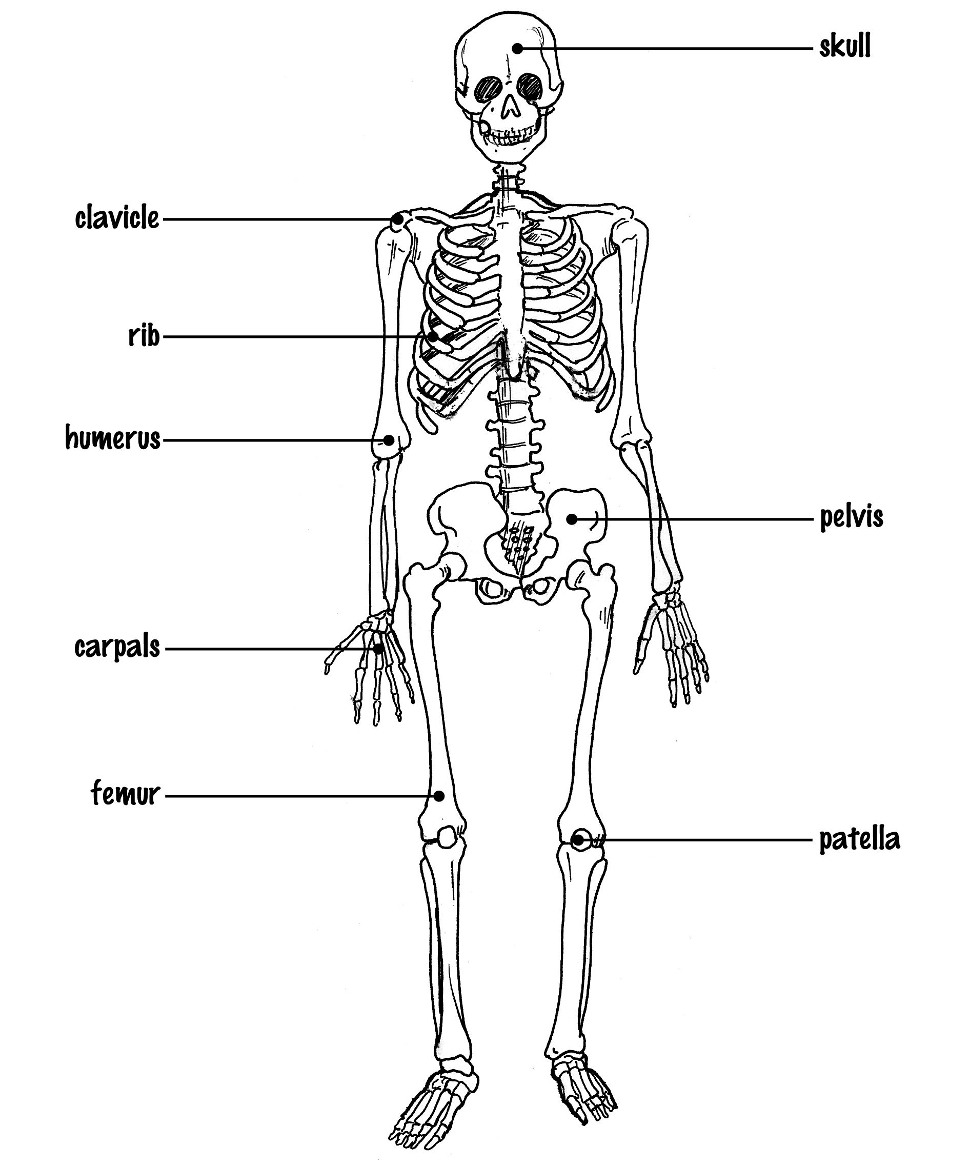 Skeletal System Drawing At Paintingvalley