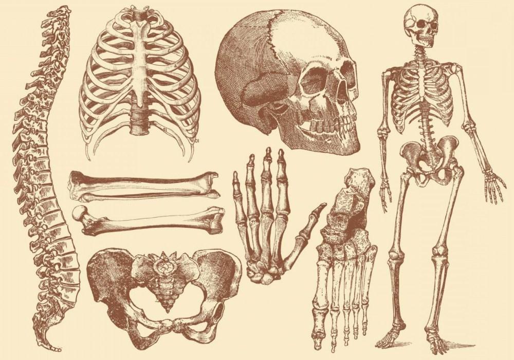 medium resolution of 1680x1176 old style drawing human bones soidergi skeleton anatomy drawing