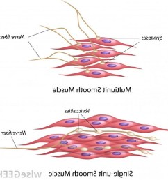 smooth muscle diagram wiring diagram expert smooth muscle drawing at paintingvalley com explore collection of smooth [ 1024 x 1025 Pixel ]