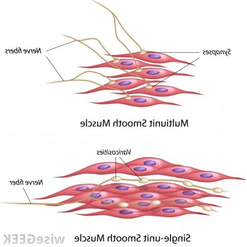 small resolution of smooth muscle diagram wiring diagram expert smooth muscle drawing at paintingvalley com explore collection of smooth