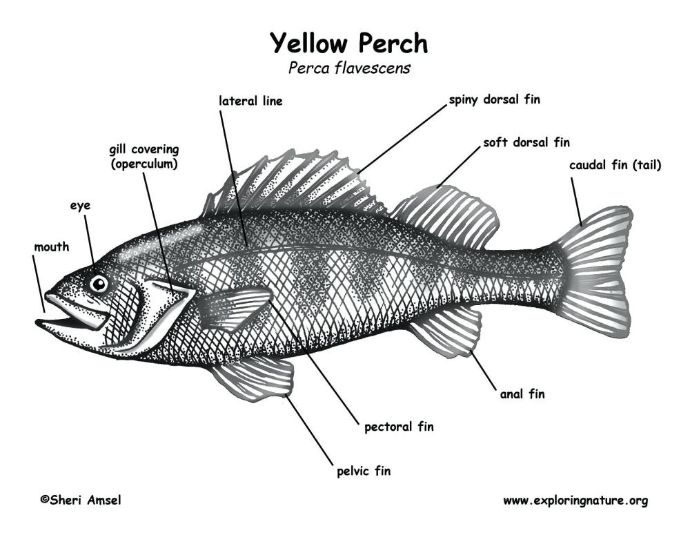 medium resolution of 1650x1275 labelled diagram of a fish schematic diagram of fish head showing tilapia fish drawing