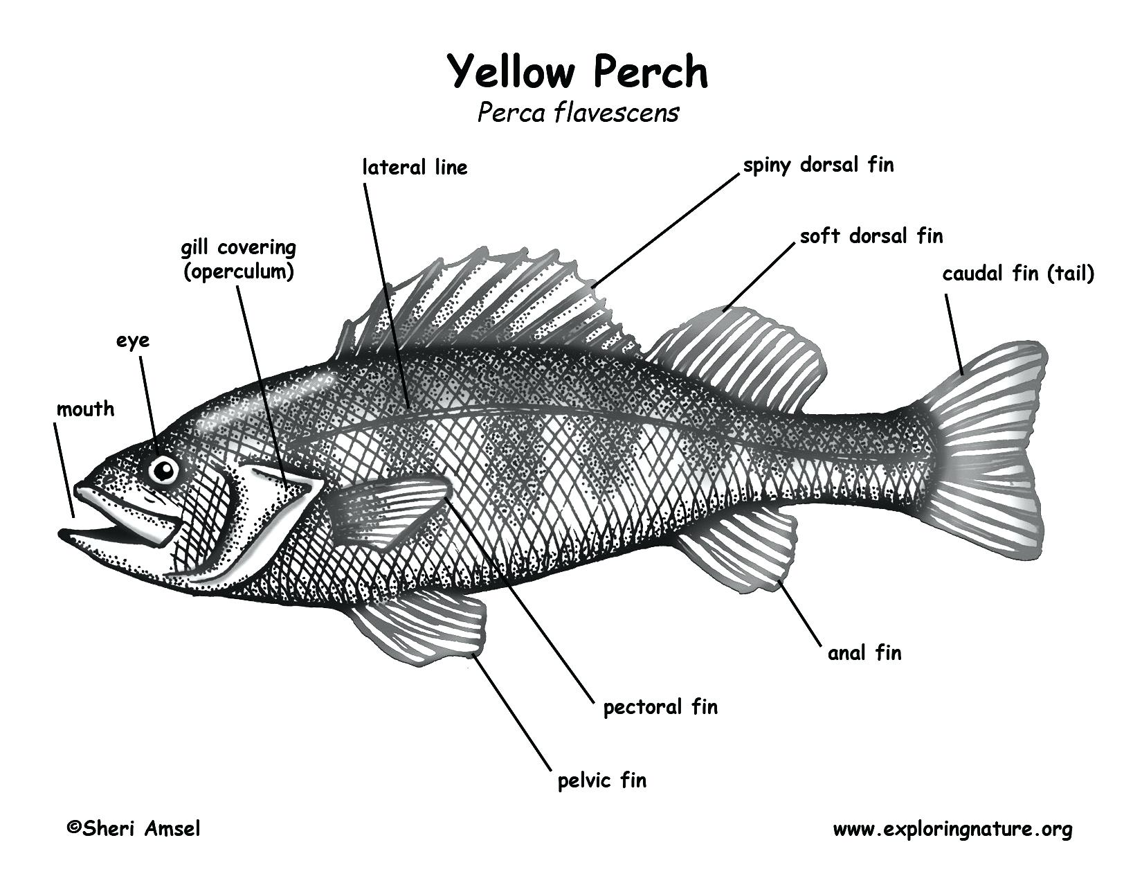 hight resolution of 1650x1275 labelled diagram of a fish schematic diagram of fish head showing tilapia fish drawing