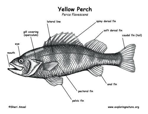 small resolution of 1650x1275 labelled diagram of a fish schematic diagram of fish head showing tilapia fish drawing