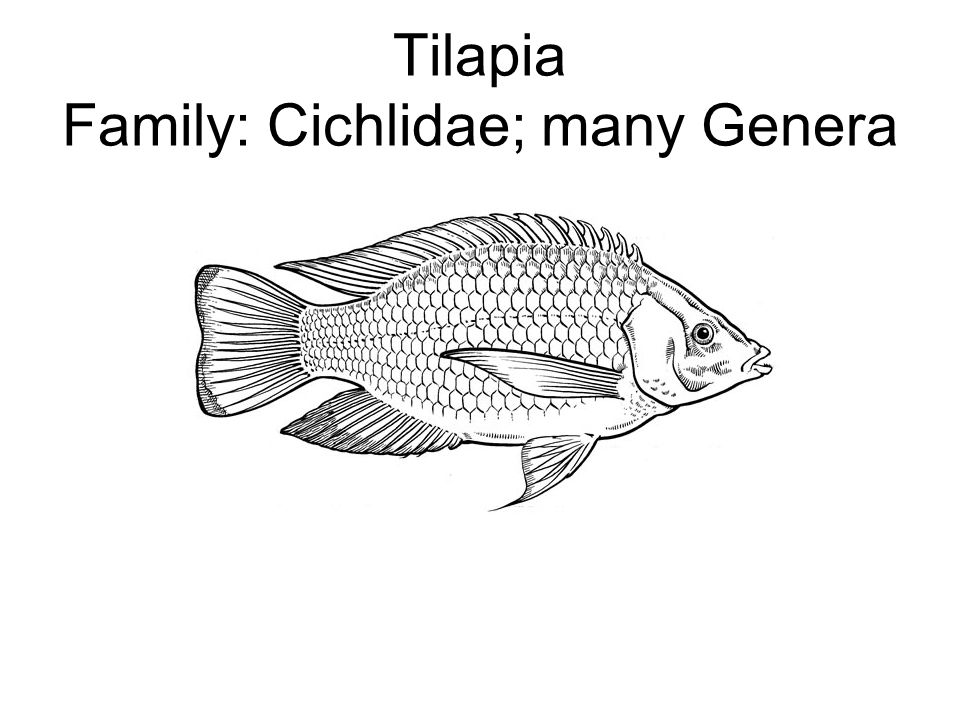 Tilapia Fish With Label