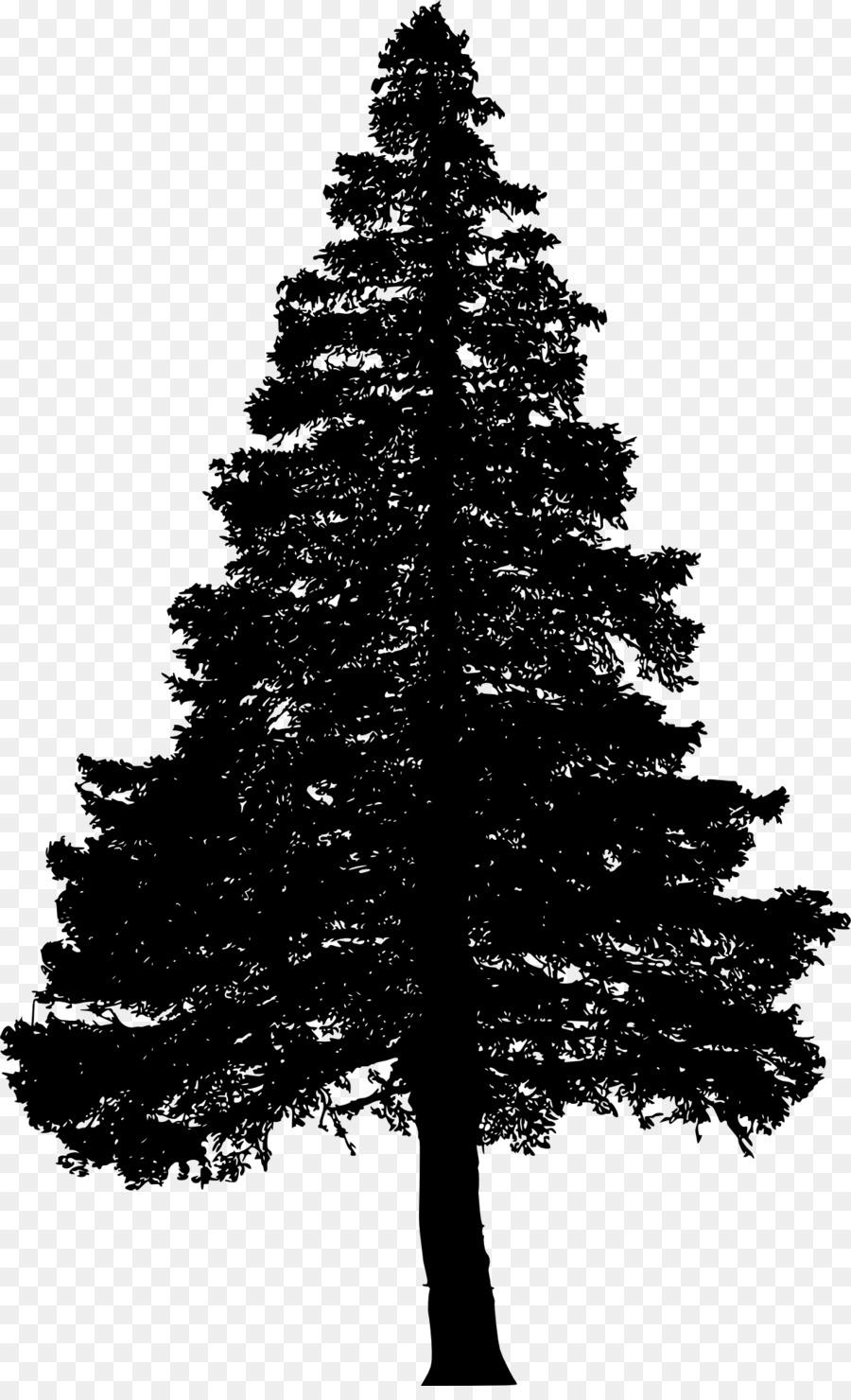 white pine tree drawing