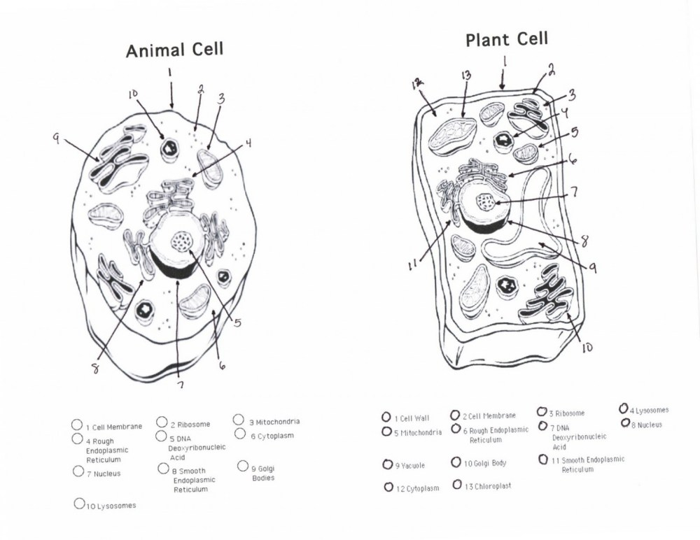 medium resolution of animal cell sketch at paintingvalley com explore collection of nerve cell diagram blank 1520x1174 cell diagrams
