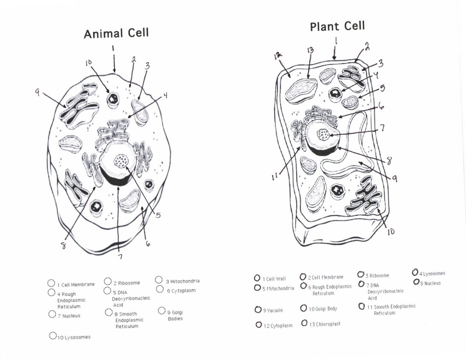 hight resolution of animal cell sketch at paintingvalley com explore collection of nerve cell diagram blank 1520x1174 cell diagrams