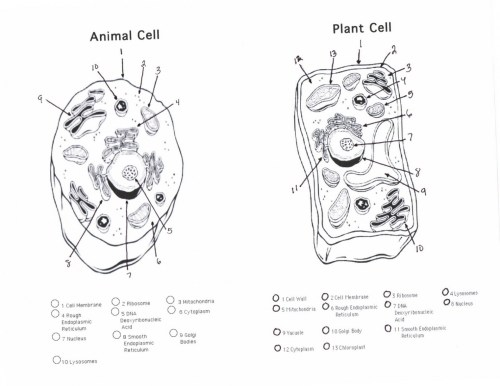 small resolution of animal cell sketch at paintingvalley com explore collection of nerve cell diagram blank 1520x1174 cell diagrams