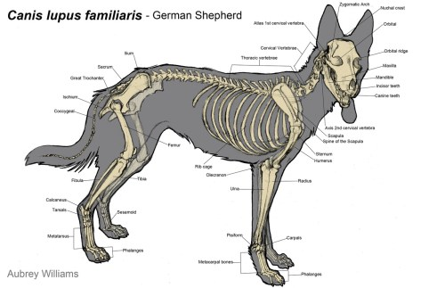 small resolution of 1280x828 dog skeletal anatomy diagram dog skeleton sketch