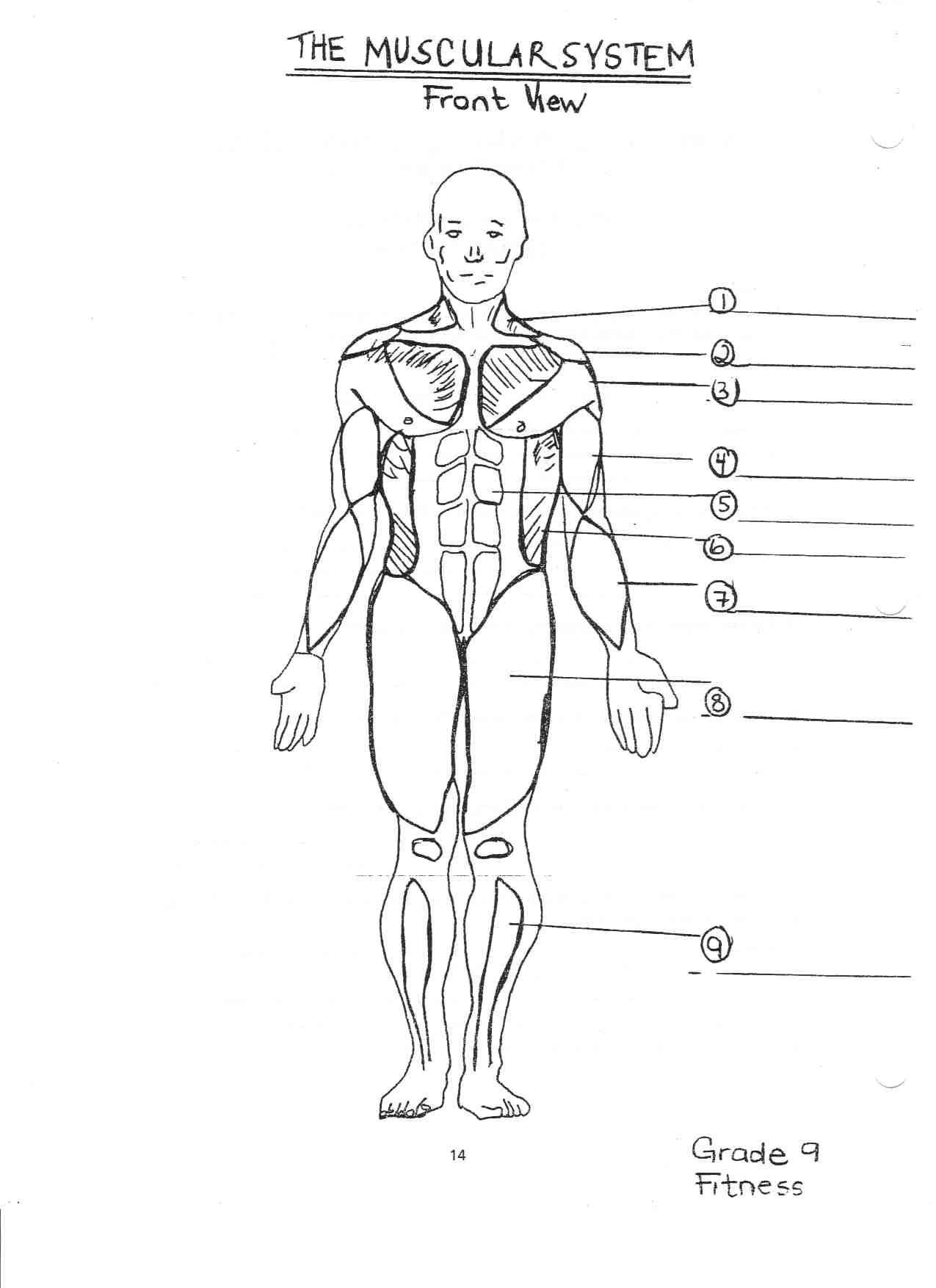 hight resolution of 1275x1754 human muscular system diagram printable muscular system sketch