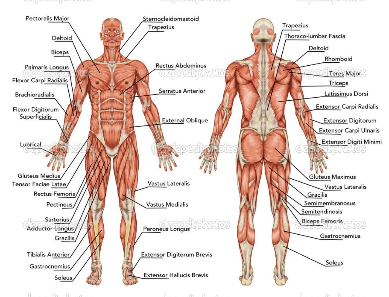 human muscular system blank diagram honeywell central heating timer wiring quizlet paintings search result at paintingvalley com 1280x977 sketch