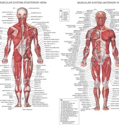 1280x1024 diagrams of muscular system muscular system sketch [ 1280 x 1024 Pixel ]