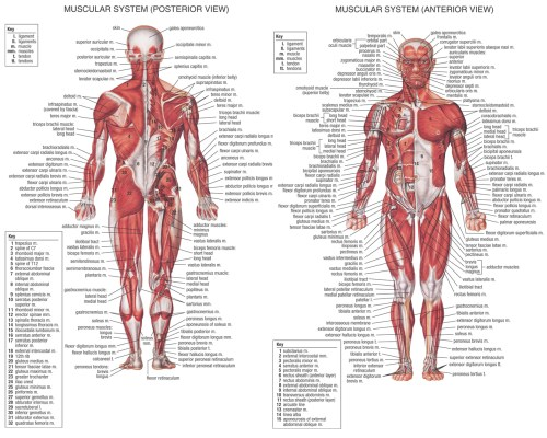 small resolution of 1280x1024 diagrams of muscular system muscular system sketch