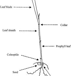 850x1248 diagram of rice plant rice plant sketch [ 850 x 1248 Pixel ]