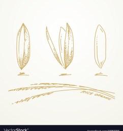 950x1080 drawn wheat rice plant rice plant sketch [ 950 x 1080 Pixel ]