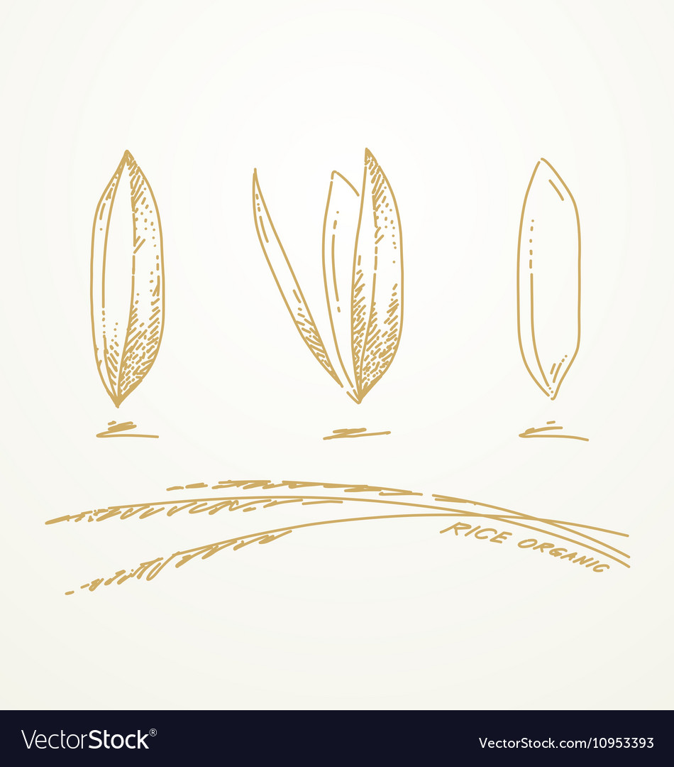 medium resolution of 950x1080 drawn wheat rice plant rice plant sketch