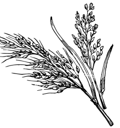 1000x841 19 rice plant clipart library black and white huge freebie rice plant sketch [ 1000 x 841 Pixel ]