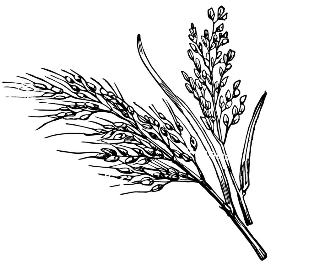 hight resolution of 1000x841 19 rice plant clipart library black and white huge freebie rice plant sketch