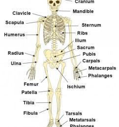 887x1024 labeled diagram of skeletal system skeleton system diagrams skeletal system sketch [ 887 x 1024 Pixel ]