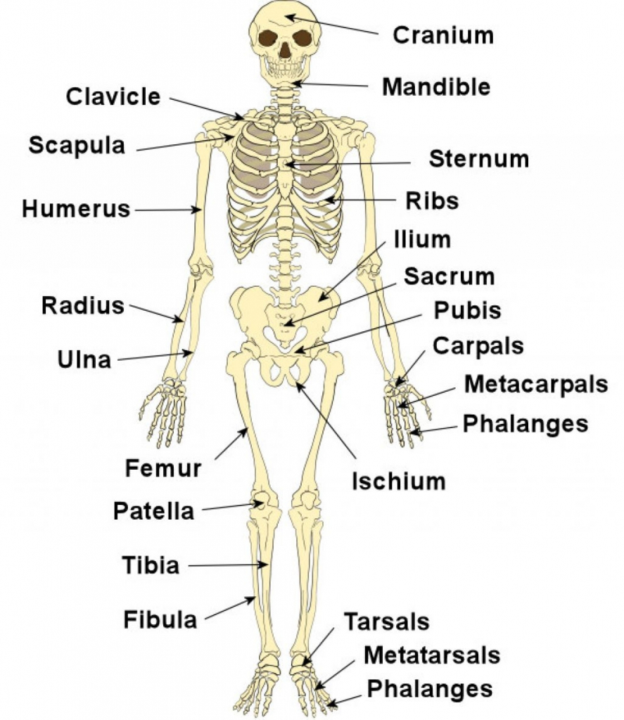 hight resolution of 887x1024 labeled diagram of skeletal system skeleton system diagrams skeletal system sketch