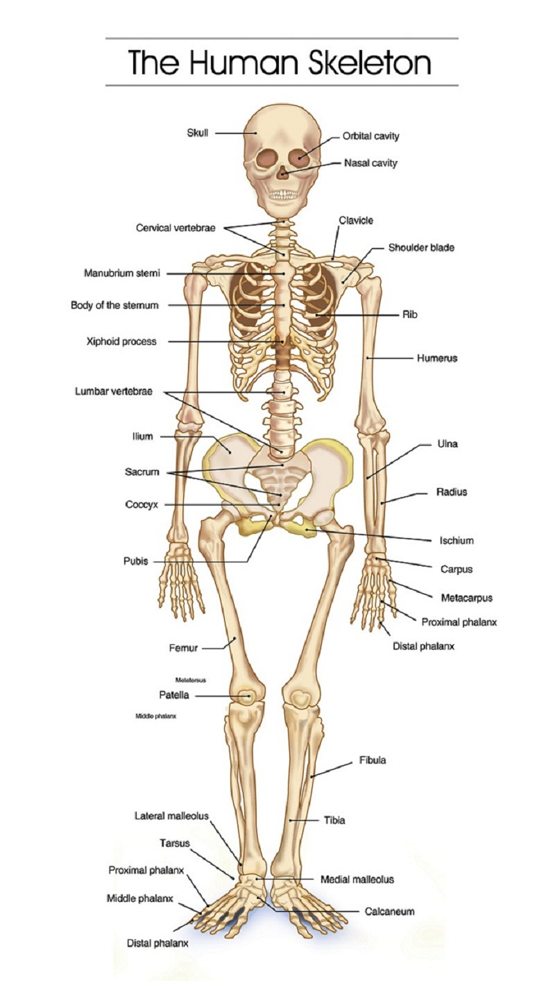 hight resolution of 800x1413 skeletal system labeled diagram skeletal system sketch