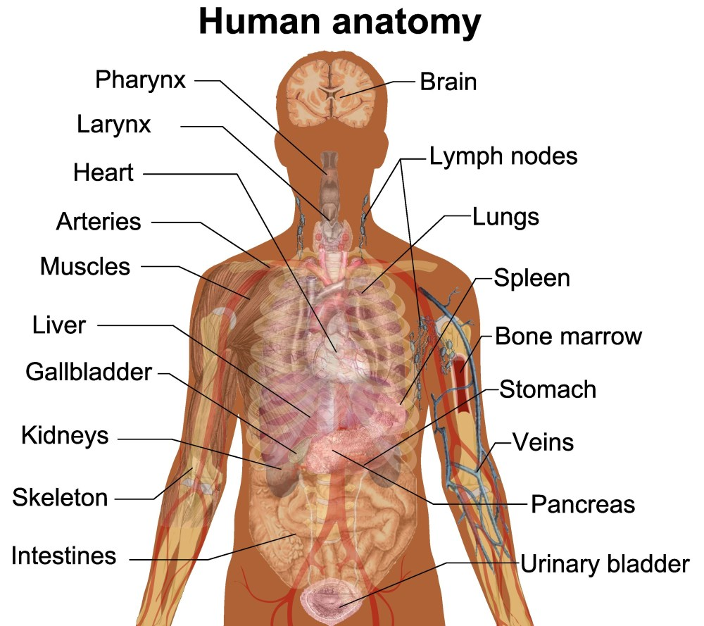 medium resolution of 3029x2693 diagram of internal human body parts beautiful humn body internl sketch of human body