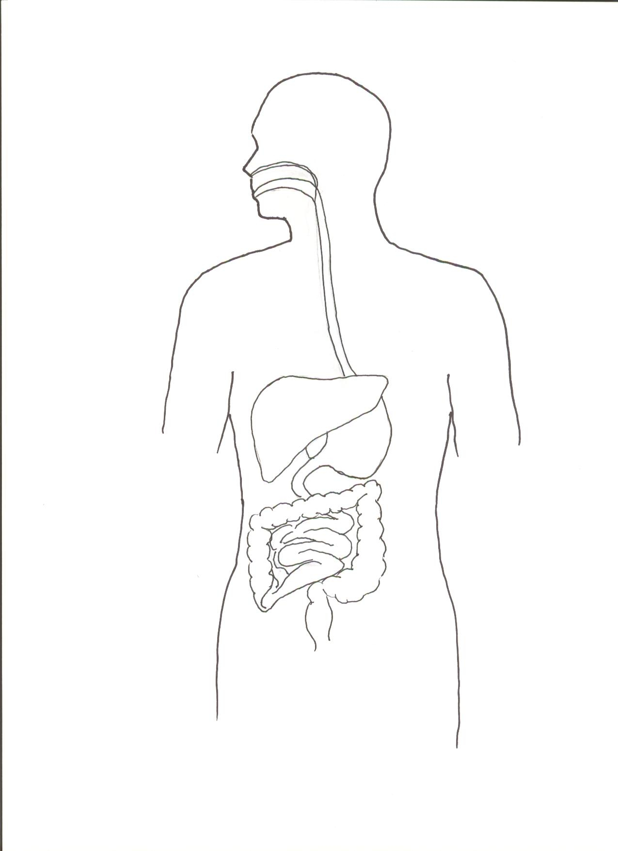 Sketch Of Human Digestive System At Paintingvalley