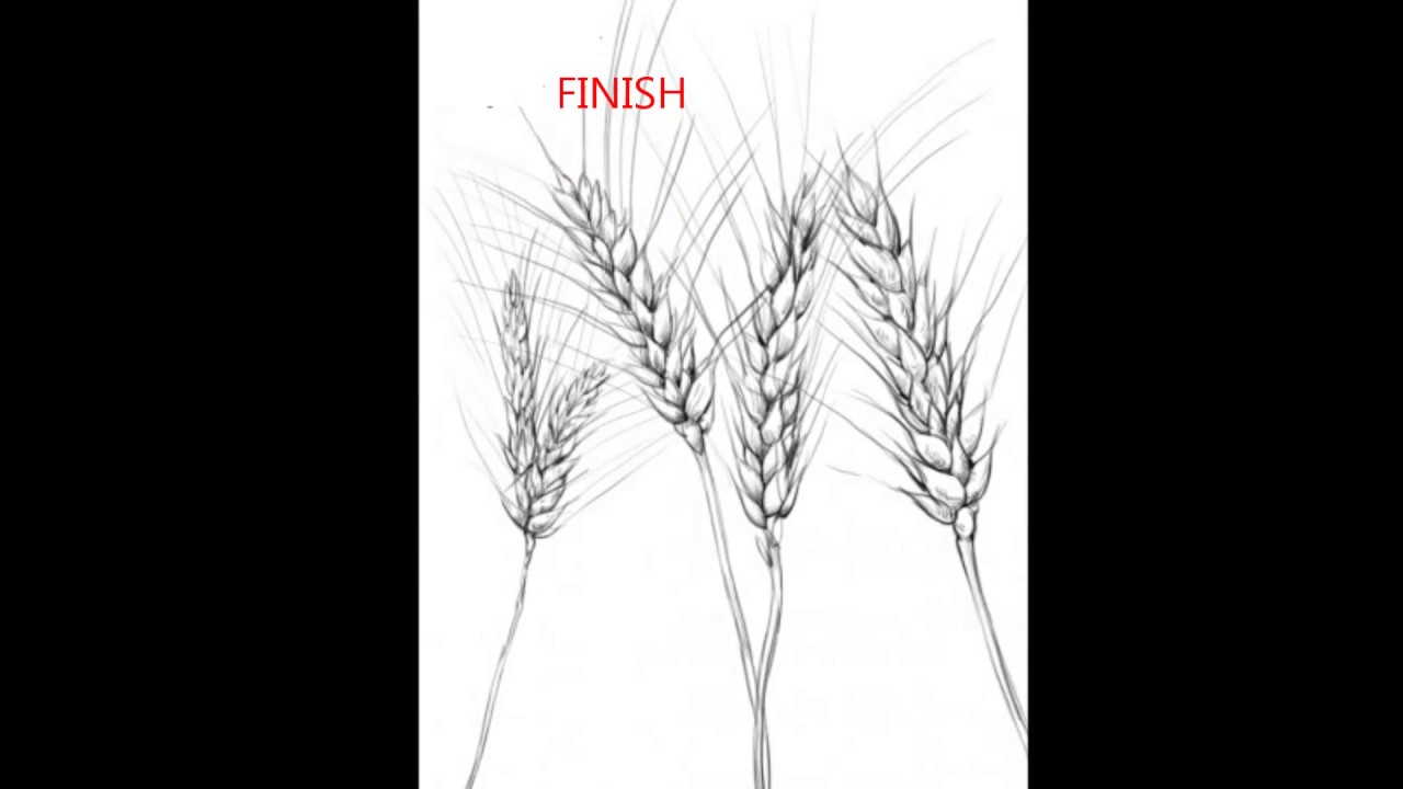 hight resolution of 1280x720 how to draw a wheat wheat plant sketch