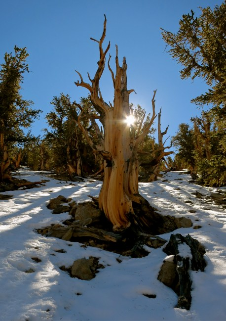 Ancient Bristlecone Forest ~ White Mtns, CA
