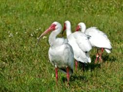 A congregation of white ibis