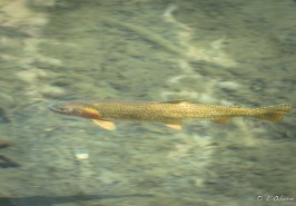Cutthroat trout makes good fishing in these lakes.