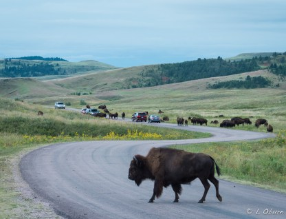 Custer Park bison jam