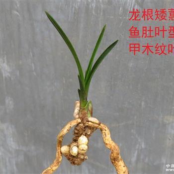 龍根矮蕙:扭甲魚肚型木紋葉 - 中國蘭花交易網
