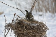 Siskin_in_Nest-21