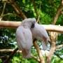 pareja-cacatuas-moluquenas-pajaross.com
