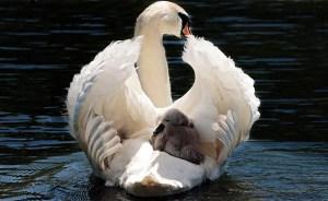 Foto cisne con su cría