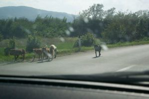 Plenty of wild dogs here in Serbia