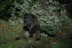 Hello Mr baboon