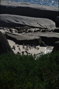 Pingvinerna i Simon's Town