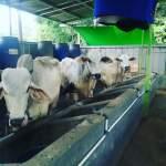 Bahan-Bahan Pakan Ternak Sapi Alternatif Berdasarkan Nutrisinya