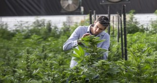 Israel seeks to legalize the use of marijuana